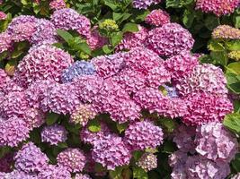 hortensiabuske med rosa, blå och lila blommor foto