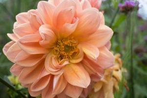 vackert av färsk dahlia blomma. apelsinblomma foto