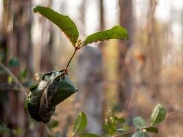 blad insvept som ett bo av röda myror foto