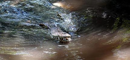 den stora krokodilen i norra Thailand. foto
