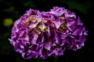 2021 07 04 valli del pasubio hortensia macrophylla 2 foto