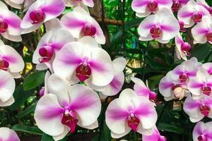 vit orkidéblomma i trädgården på vintern phalaenopsis orkidé foto