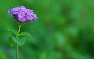 lila små blommor i en bokehgrön bakgrund foto