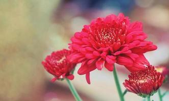 tre röda blommor i en bokeh -bakgrund foto