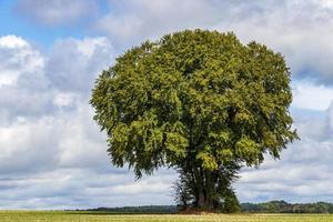 stort gammalt träd på ett fält i tecklenburgerland, Tyskland. foto