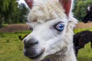 rolig vit alpacka med ljusblå ögon foto