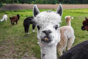 rolig vit alpacka som visar tänder, roligt ansikte. Tyskland. foto