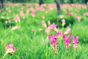 närbild siam tulpan blomma thailand foto
