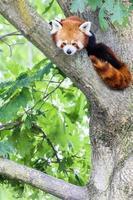 röd panda - ailurus fulgens - porträtt. foto