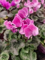 vackert blommande rosa hem cyklamen clouse-up foto