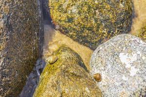 havssniglar på stenar och stenblock under vattnet kos island greece. foto