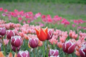 textur av ett fält med flerfärgade blommade tulpaner foto