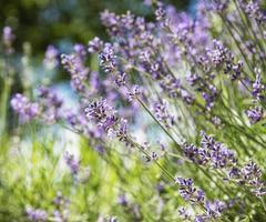 naturliga lila lavendelblommor foto