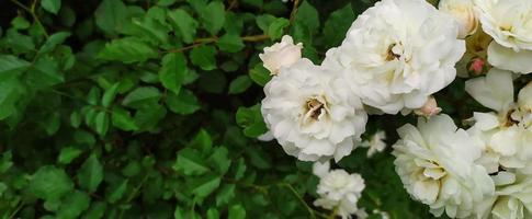 rosenbuske. vita rosor blommade i trädgården på sommaren. foto