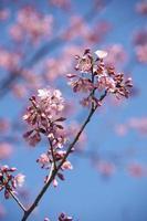 körsbärsblommor i hokkaido foto