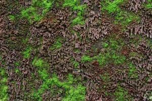 närbild av grön mossstruktur på den gamla väggen för bakgrund foto