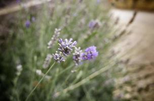 lavendelblommor i en trädgård foto