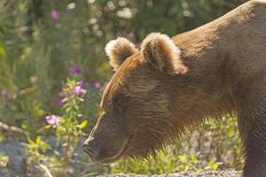 grizzlybjörn i naturen foto
