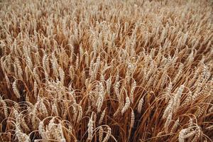 bakgrund av mogna öron av vete. vete fält foto