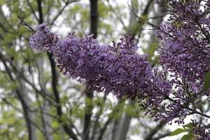 blommande syrener i min trädgård foto