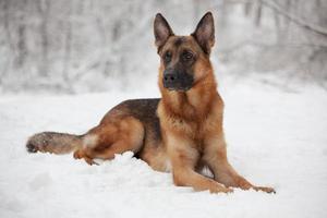 vacker herde som ligger på snön foto
