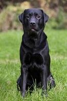 svart labrador sitter på grönt gräs foto
