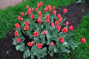 rabatt planterad med röda tulpaner foto