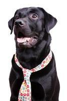 svart labrador i blommig slips foto