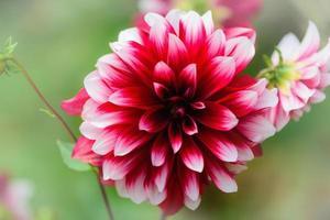 vackra höst dahlia blommor på suddig grön natur bakgrund foto