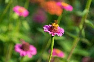 blomma zinnias med att sitta på den en liten orange fjäril foto