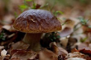 boletus i höstskog, naturlig höstskörd foto