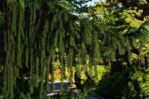 gren av europeisk gran eller picea abies. cultivar virgata foto
