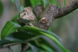 anolis barbatus i terrarium foto