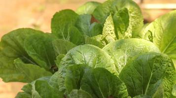 grön grönsak. vacker grön sallad i hydroponisk gård. foto