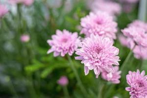 vacker rosa gerberablomma i trädgården foto