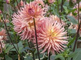 vackra stora halvkaktus dahlia blommor, variation överraskning foto