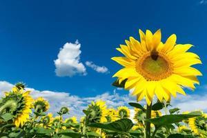 solrosfält med grumlig blå himmel foto
