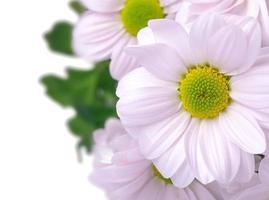 bukett med rosa krysantemum foto