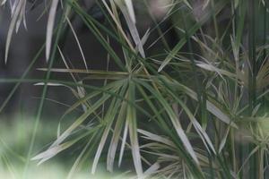 grönt papyrusträdväxtblad. foto
