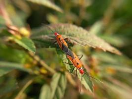 två röda insekter med långa svarta ben som häckar på gröna blad foto