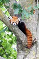 söt röd panda som vilar lat på ett träd foto