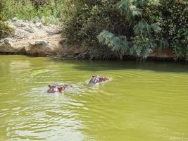 flodhäst simmar i floden foto