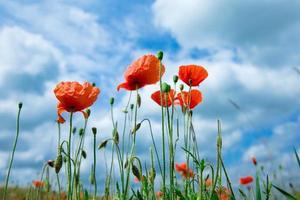 vallmo blommor under blå himmel och solljus foto