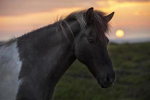Islandlandskapets vackra hingst foto