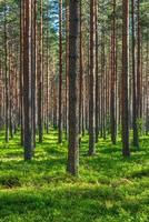vacker tallskog på sommaren foto