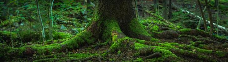 rötterna på ett gammalt gran foto