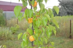 unga aprikoser växer i trädgården i byn foto