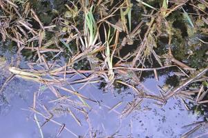 lacustrine vegetation vass och alger foto