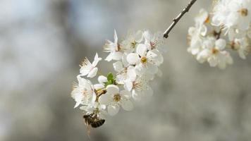 närbild körsbärsblommor som blommar på ett vårkörsbärsträd. bi. natur. ryssland. foto
