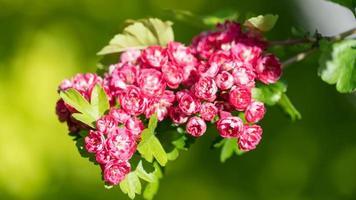 närbild rosa blommor blommar. Sotji. ryssland. foto